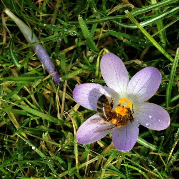 Honeybee in crocus