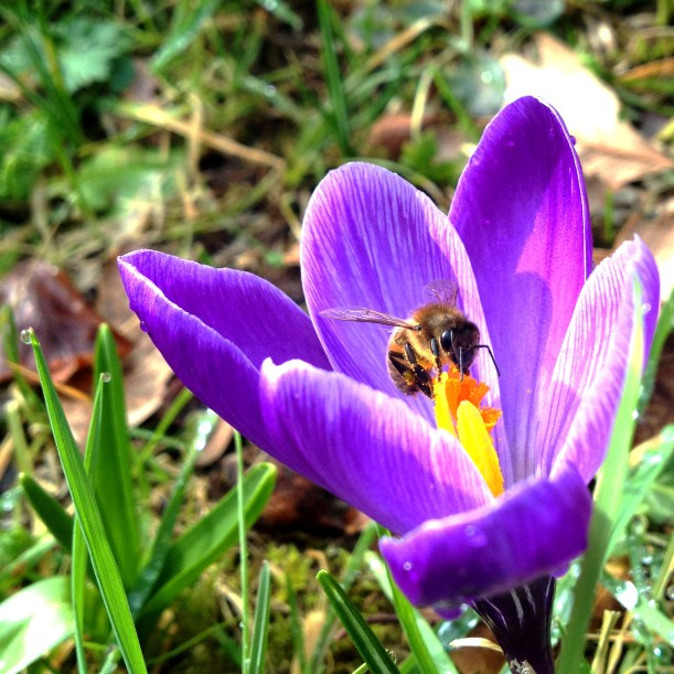 honeybee on crocus