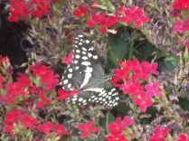 One of the butterflies in the Butterfly House.