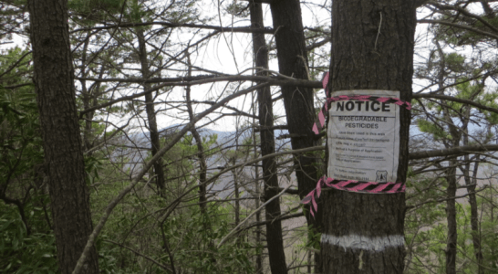 What Does Restoration Look Like? Saving Hemlocks   on the Grandfather Ranger District
