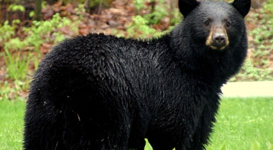Temporary Rules Approved for Black Bear Hunting