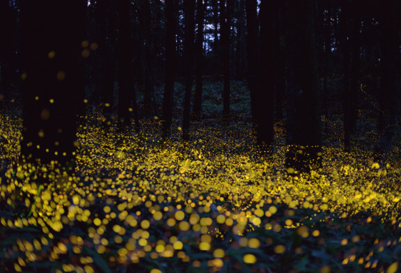 Synchronous firefly viewing goes to lottery system