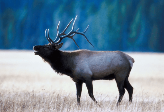 New Elk Management Adopted in NC