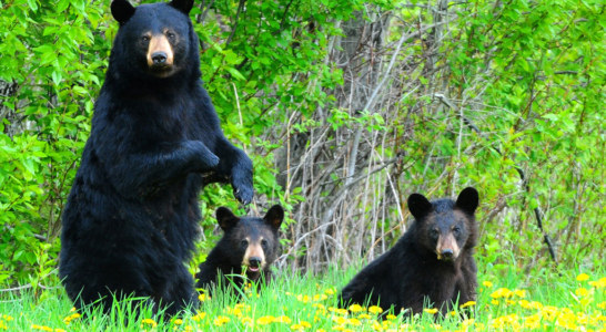 Forest Service issues Warning about Black Bears in Panthertown