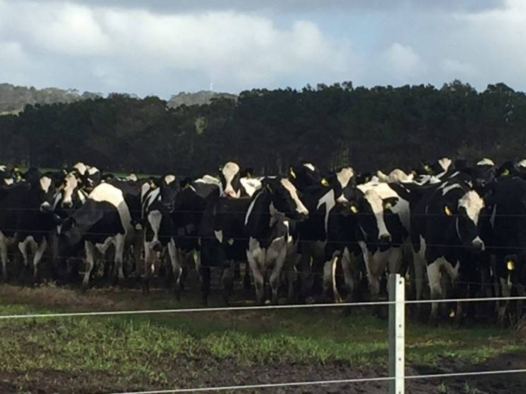 Definitely a lot of cows