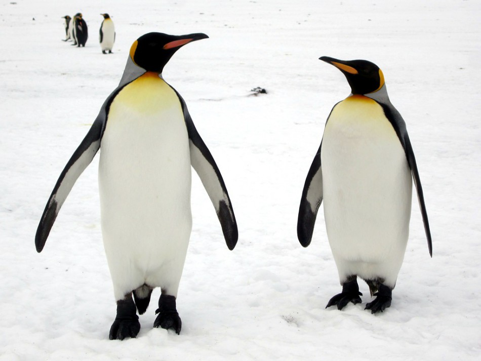 Image, pair of penguins looking at one another.