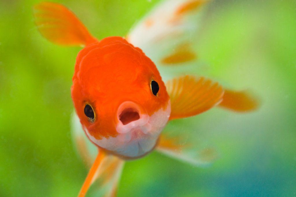 Image, goldfish.