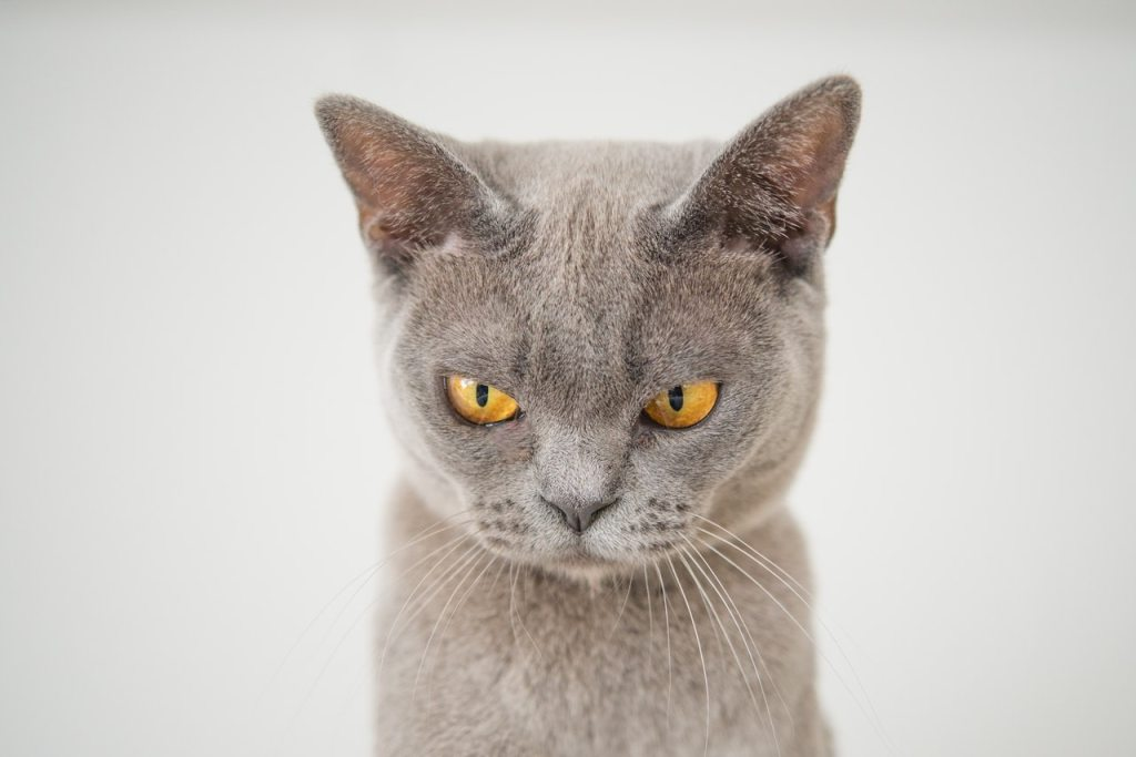 Image, grey cat with suspicious angry eyes.
