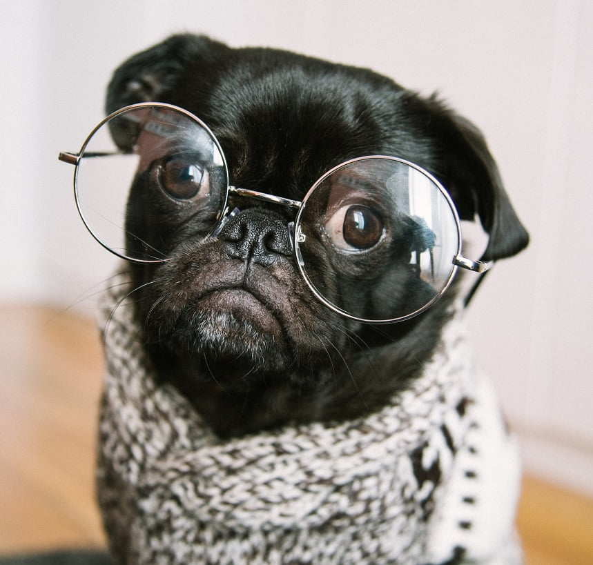 Image, Black pug dog with large round glasses and a scarf.