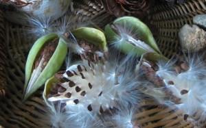 milkweed-pods