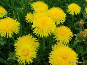 dandelion-377859_1280