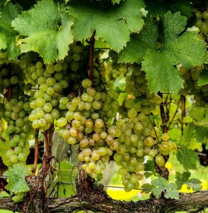 grapes-188185_1280