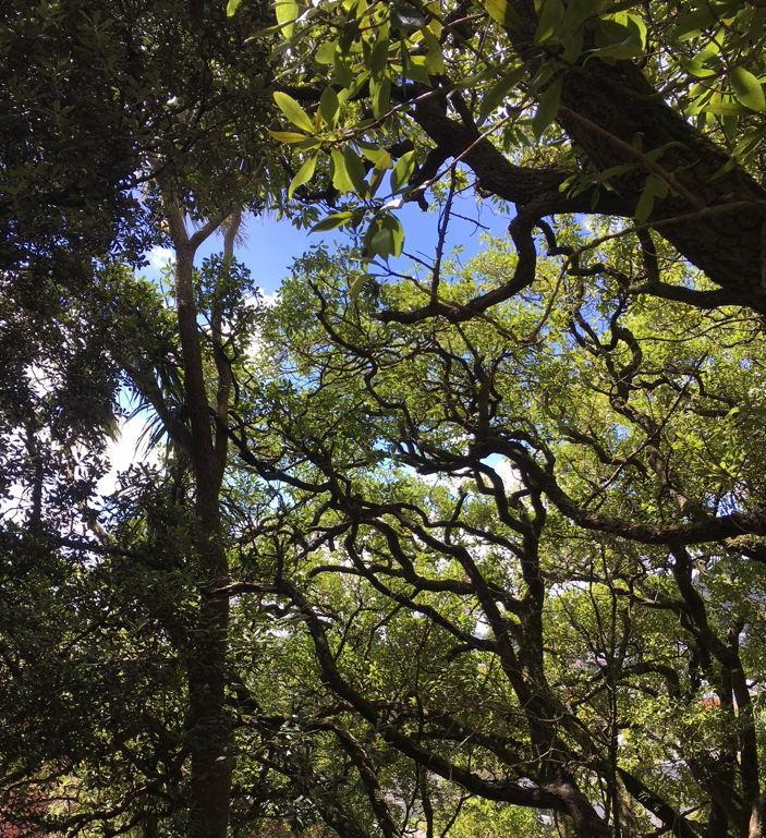 six-kaka-in-ngaio-tree