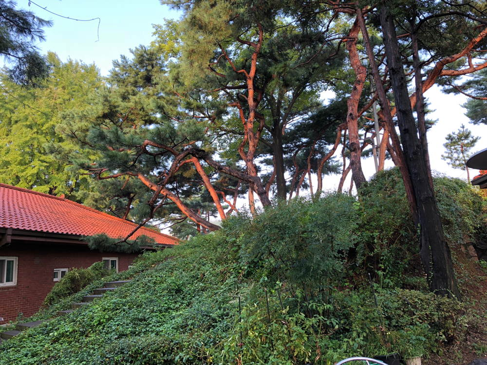 red trunks of Korean pines match an orange roof at Seou Art Space Yeonhui