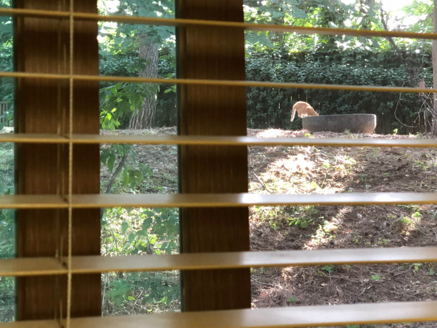 A ginger cat drinking at a trough in sunshine, seen through wooden blind slats.