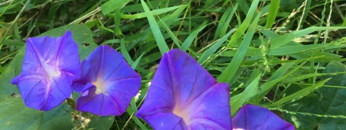 four morning glory flowers in grass