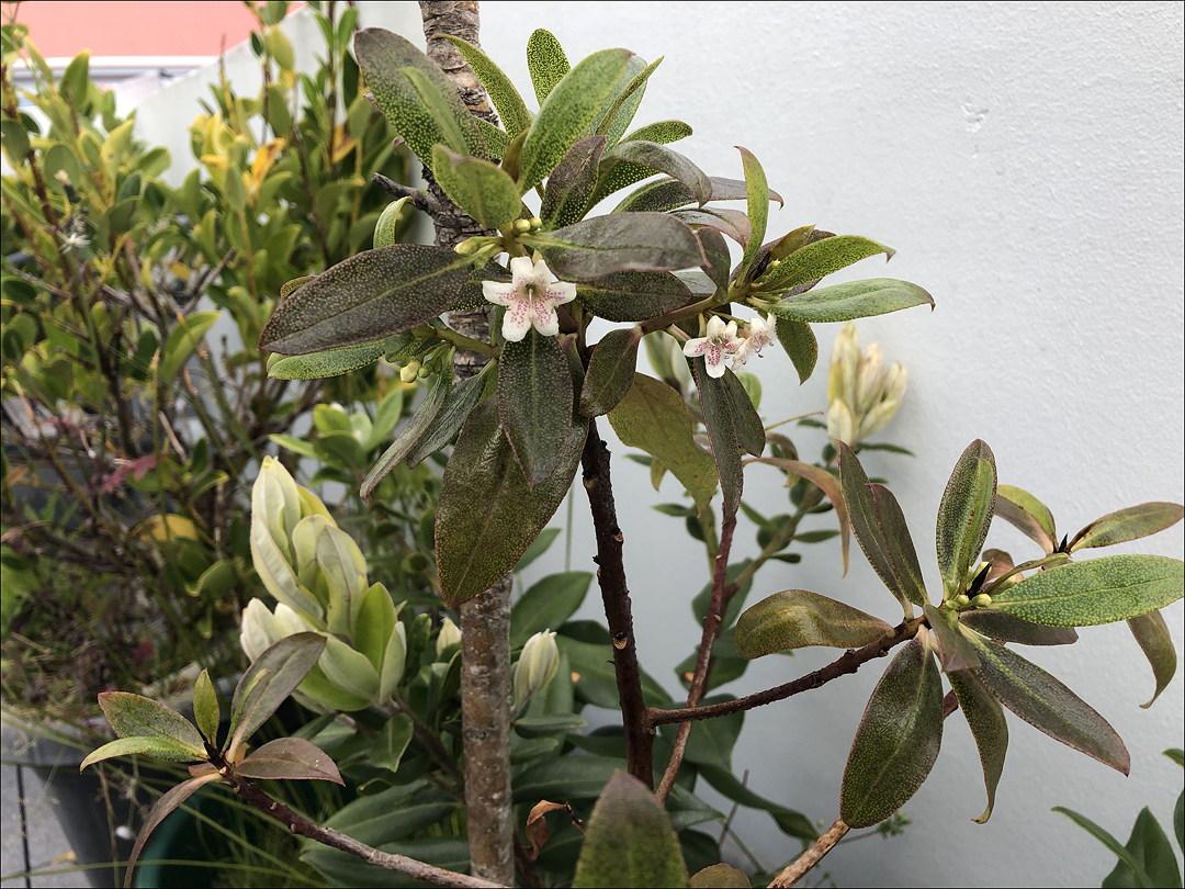 ngaio-flowers