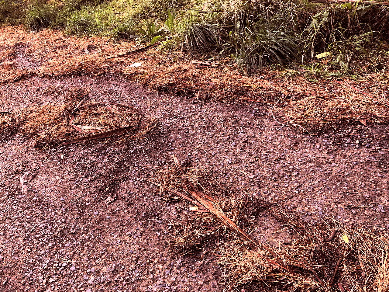 Hill path with red pine needles swept aside by rain