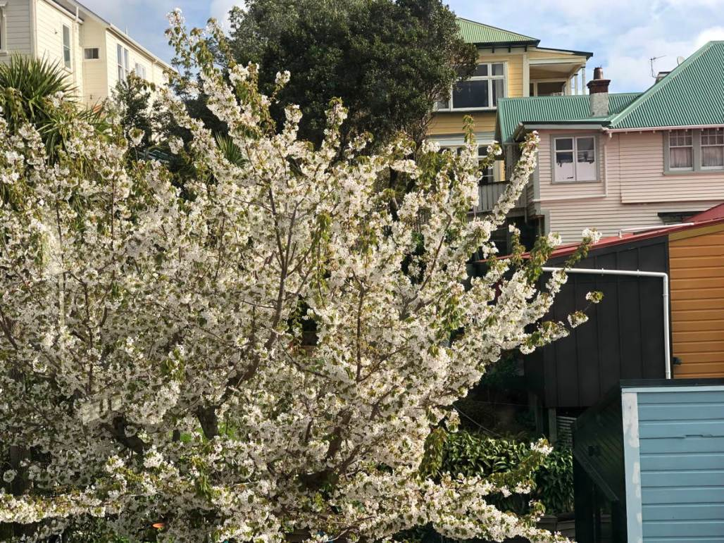Cherry tree smothered in white blossom with fresh leaves, set in the back yard of wooden houses.