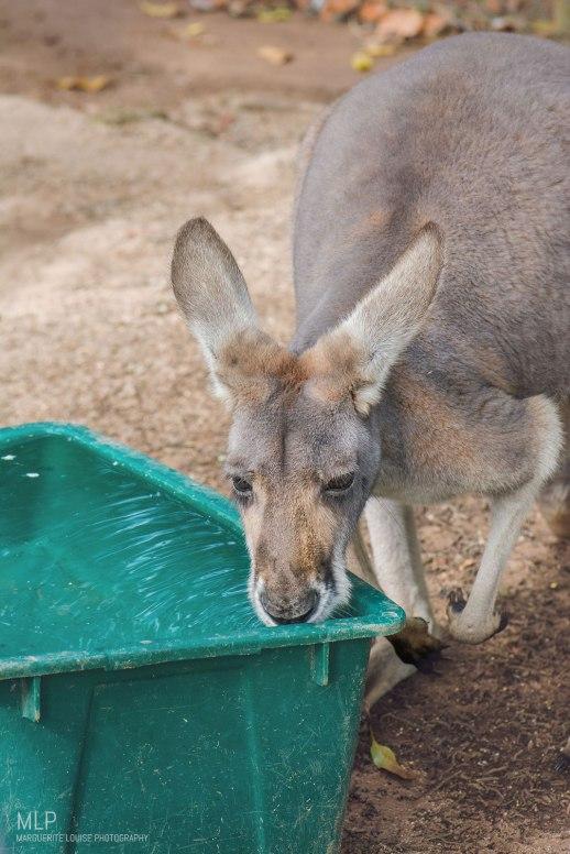 kangaroo, australia, zoo, australia zoo