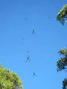 SPIDERS in Australia