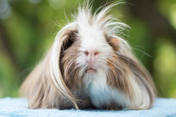 a-short-guide-to-the-peruvian-guinea-pig-54ae8bcad6145