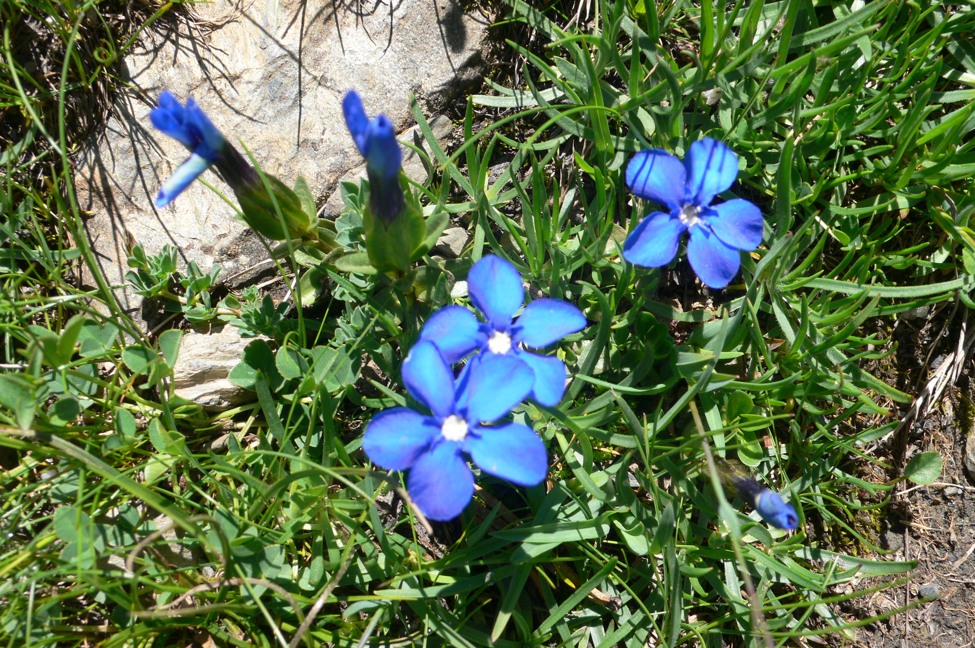 Gentians near the Col d'Anaye