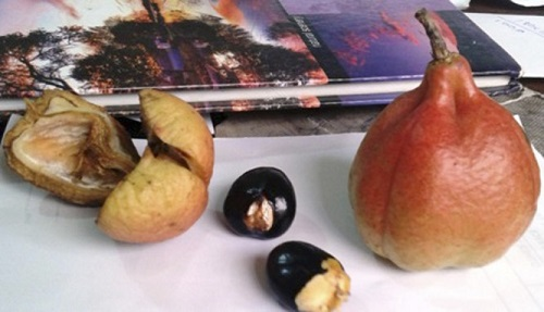 Jamaica's national dish Ackee, a 'fruit' or 'call of death?'