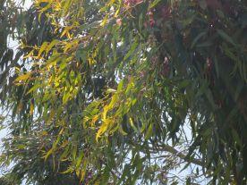 Light through Eucalyptus Leaves