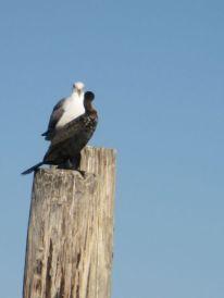 Seagull & cormorant