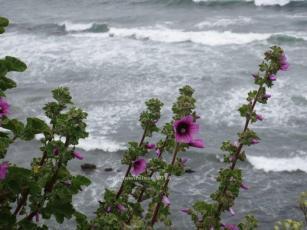 Purple Flower Stalks against Surf, Moss Beach