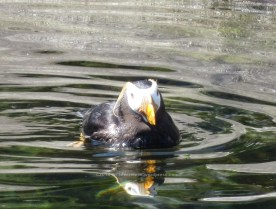 This is a tufted puffin.