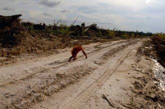 orangutan-alleine-wueste
