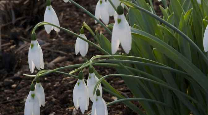 Day 3: Snowdrops