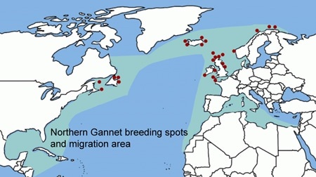 Pettex_Northern_gannet_breeding-migration_world_450