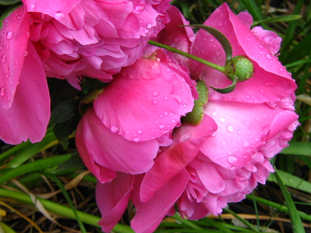 Two peonies after the rain