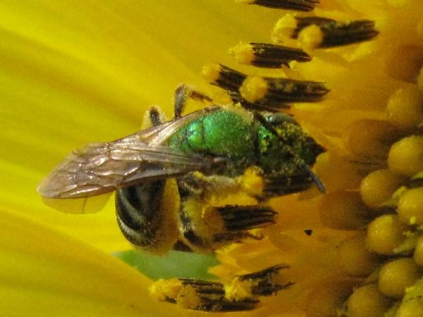 Green sweat bee on sunflower