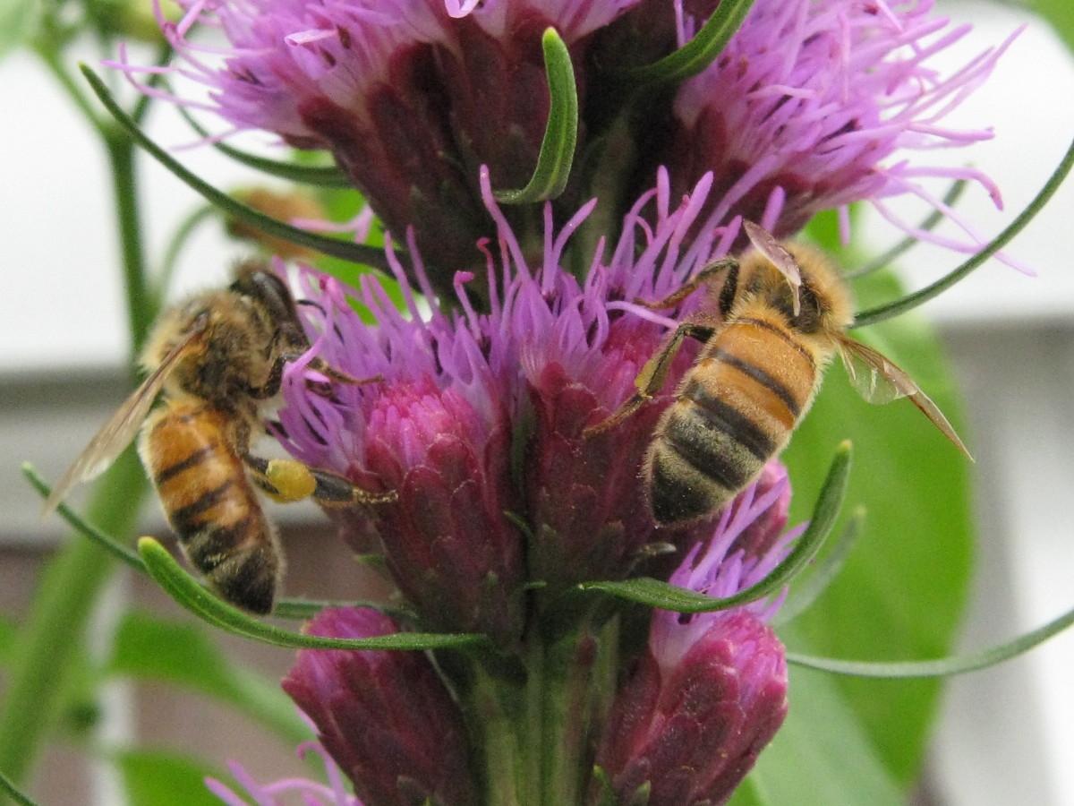 Two happy honeybees