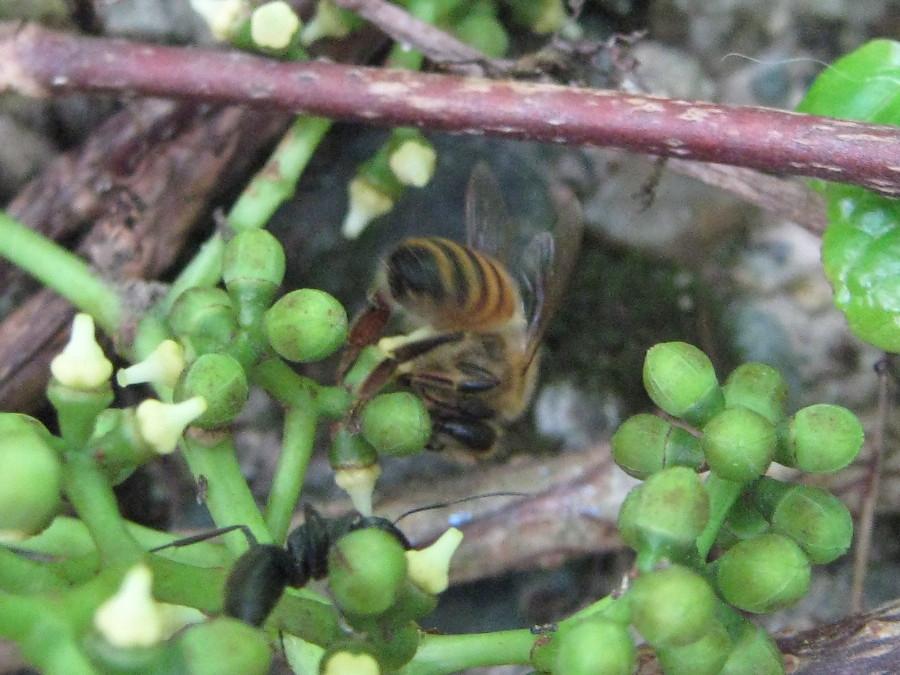 Honeybee on grape flowers