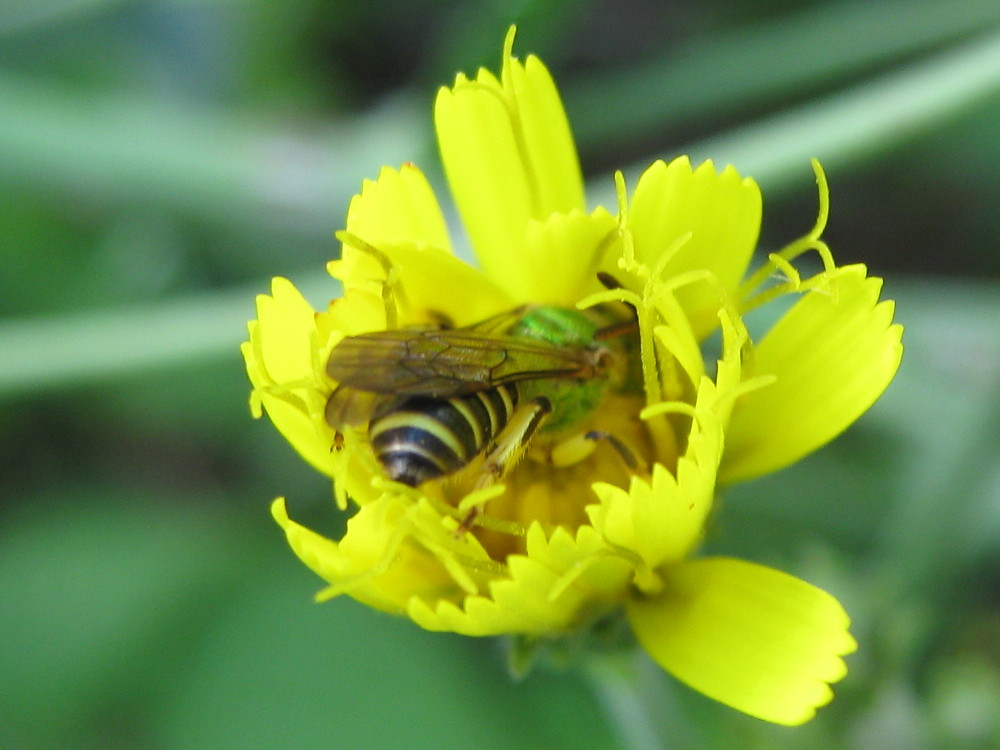 Sweat bee inside hawkweed!