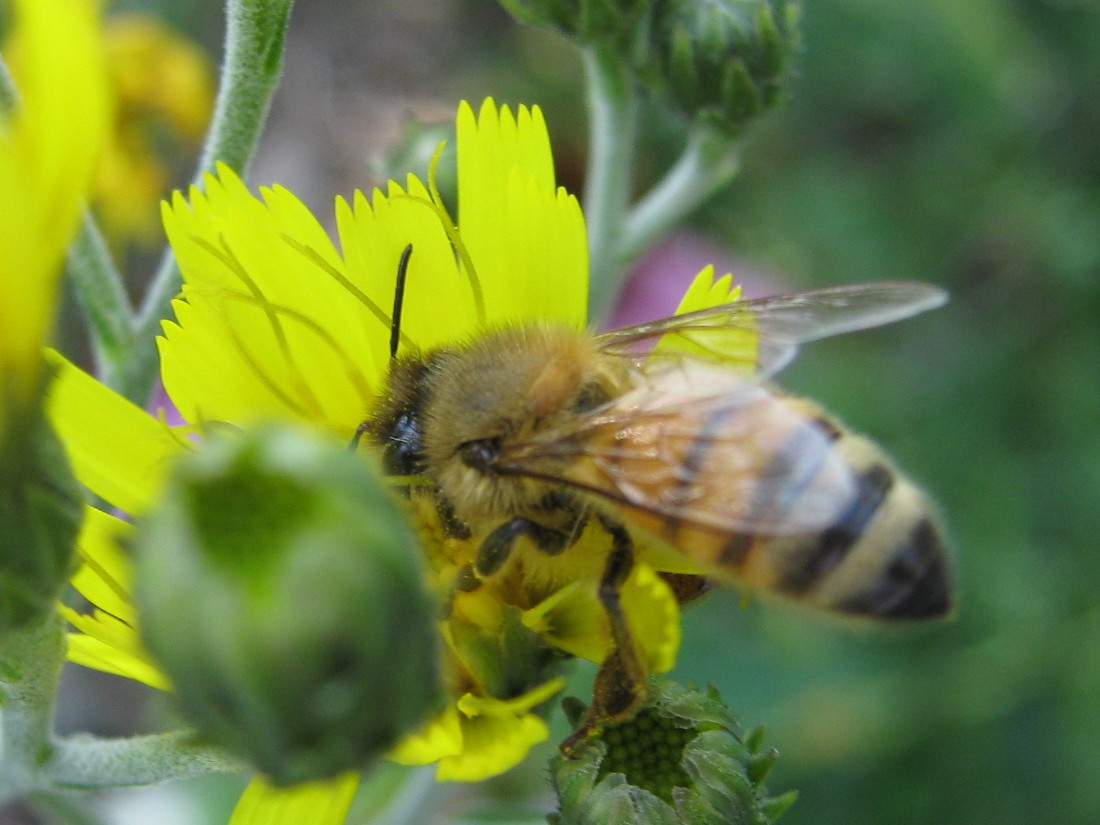 Honeybee on hawkweed