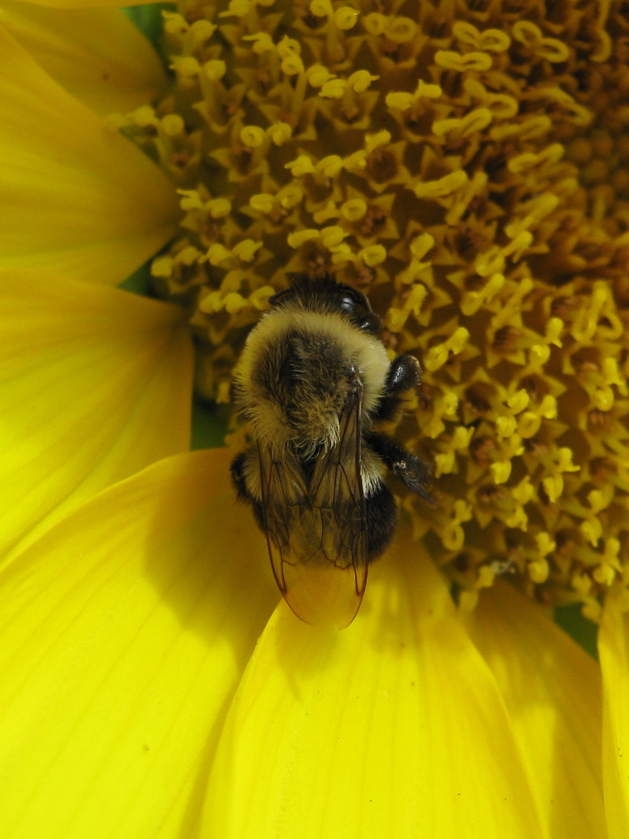 Bumble asleep on sunflower