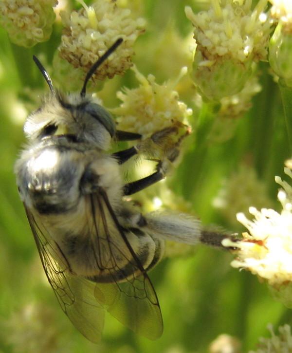 Gray bee on desert broom