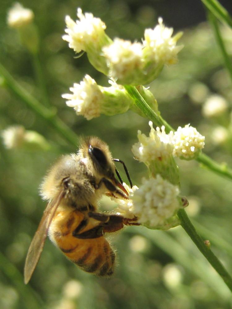 Honeybee on desert broom