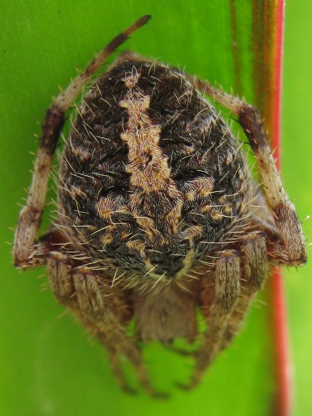 Resting orb weaver spider