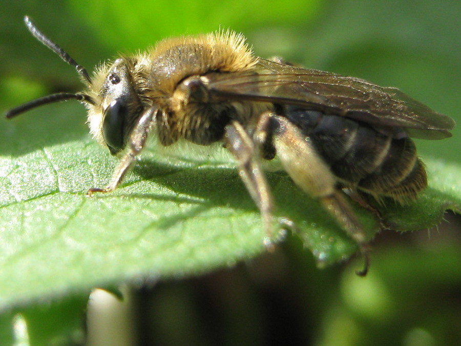 Another mining bee