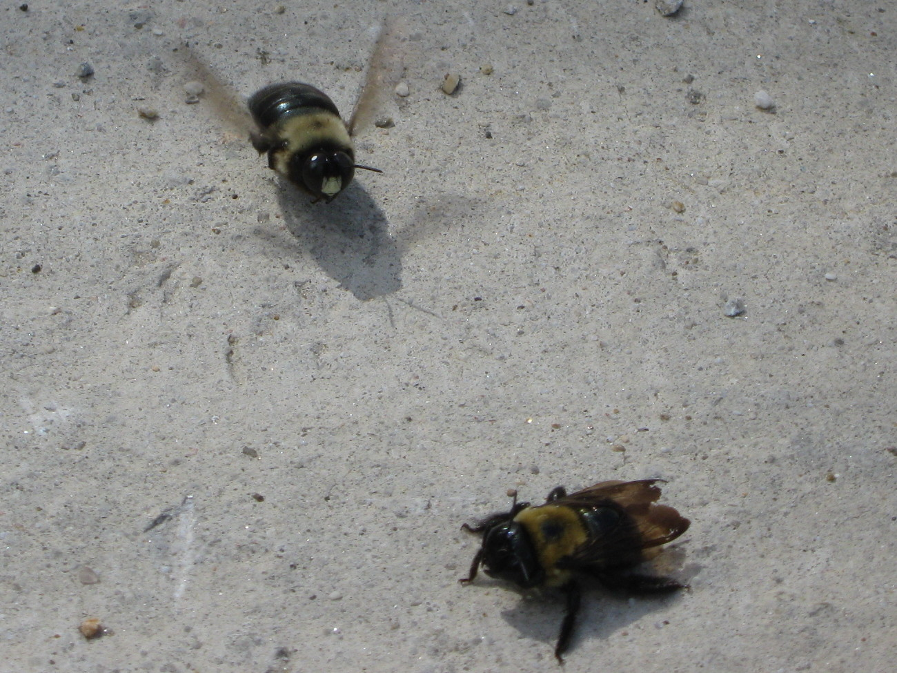 Carpenter bees in luv?
