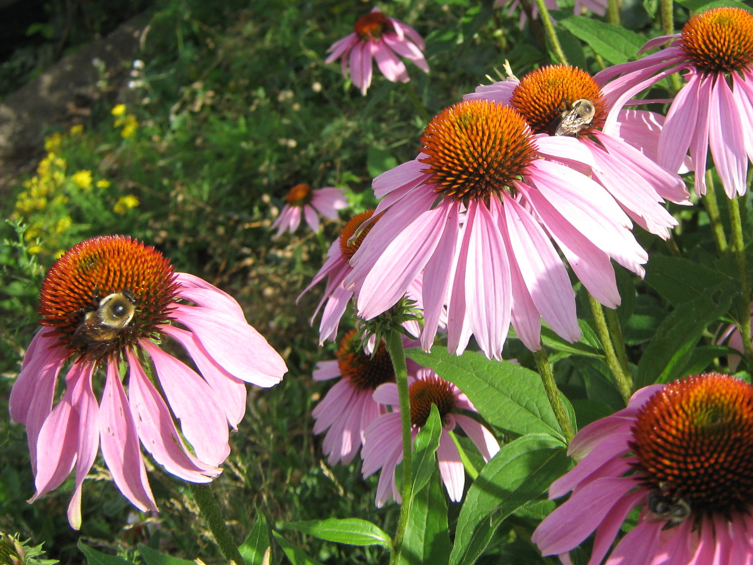 Bumblebees on coneflowers