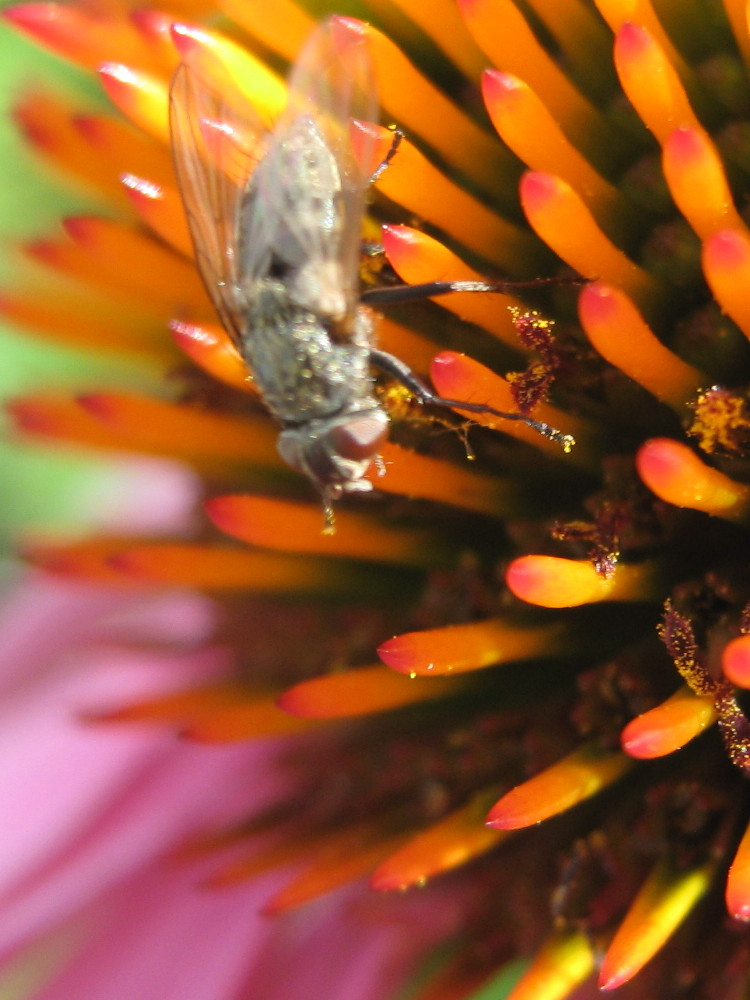 Fly on coneflower