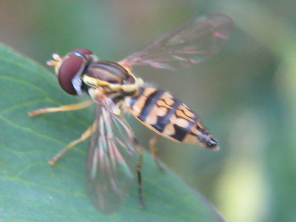 Toxomerus Syrphid fly